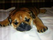 English Bulldog Puppy,  Male,  12 weeks old,  for Sale $1200.00