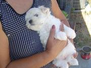 baby doll face maltese puppies for free adoption