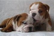cute and adorable english ulldog for adoption