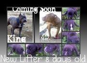 New Litter 7 Blue Bone Tri Color Pups