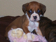sweet and healthy boxer puppy  ready to go for adoption