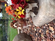 Full blooded chocolate beagle puppies new price