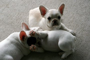 French Bulldogs Puppies Available Now!12weeks old